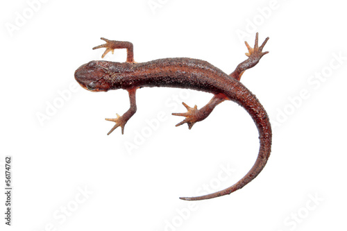 Common newt isolated on white