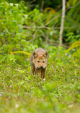Nature Asiatic jackal come toward at us