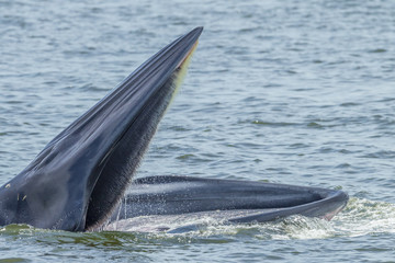 Close up of Bryde's whale open her mount