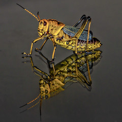 Black and Yellow Grasshopper Macro Closeup