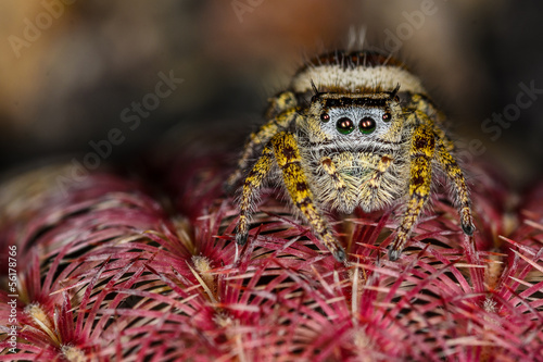 Brown and Yellow Jumping Spider Macro