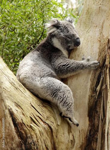 In de dag Koala Koala, Australien