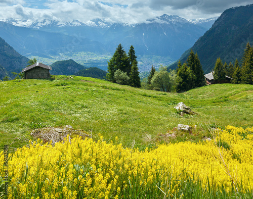Yellow wild flowers on summer mountain slope