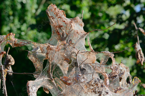 Albero infestato da Hyponomeuta hexabola