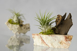 Tillandsia plants and rocks