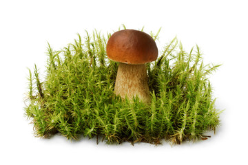 Brown edible boletus on green moss