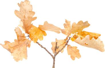 autumnal dry oak leaves