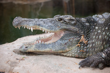Nile Crocodile Head Closeup