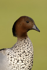 Australian wood duck or maned duck, Chenonetta jubata,