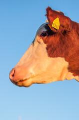 volto di mucca