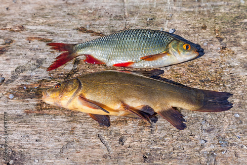 Raw fish tench and carp on wooden background