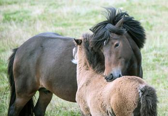 Süd-Island - Islandpferde auf der Weide