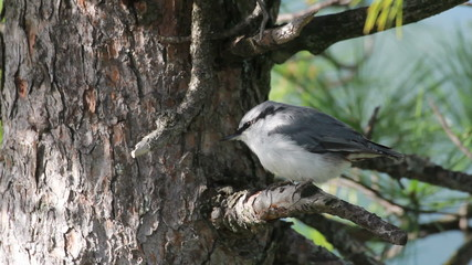A lovely Nuthatch, looking for food