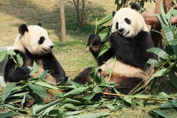 Two giant panda enjoying their bamboo food in a zoo