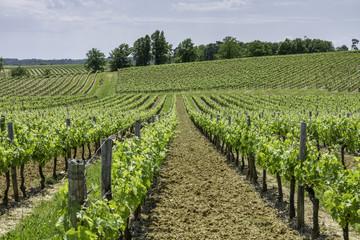 Vignes, vignobles