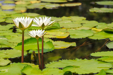 White Water Lily Blooming in Sunshine Day, Tranquil Nature