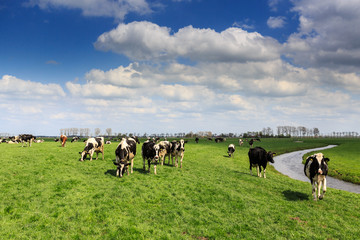 Cows standing in a grassland in Holland
