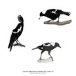 Australian Magpie, adult male, female and  juvenile bird