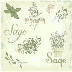 Sage, salvia, clary sage, herb, plant background, calligraphy