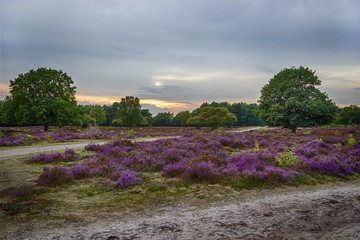 sunset over heather fields, the Netherlands