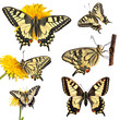 Collection of swallowtail butterflies (Papilio machaon)