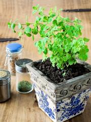 Oregano plant in a rustic pot.