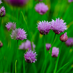 Garden herbs - chives blooming in the garden