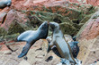 South American Sea lions in Paracas National park. Peru