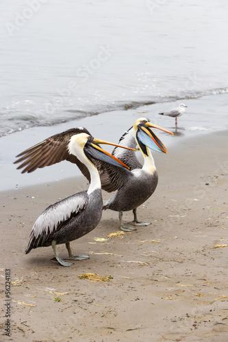 Pelicans on Ballestas Islands in Paracasю Peru. South America