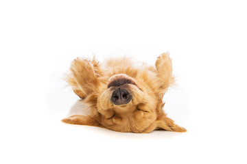 Upside down golden retriever