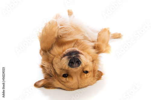 Golden Retriever dog laying on his back