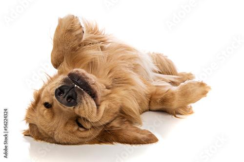 Leinwandbild Motiv Golden Retriever dog on his back