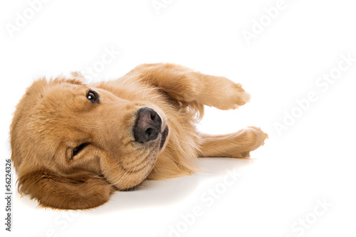 Golden Retriever dog looking tired