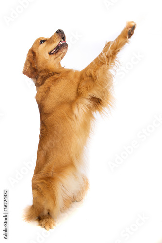 Golden retriever standing up