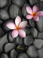 Two frangipani on wet black pebbles