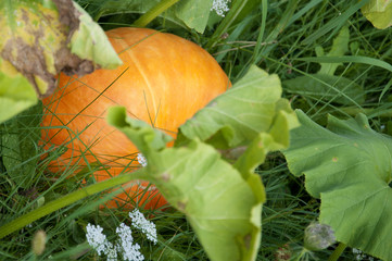 Pumpkin Growing in Switzerland
