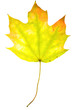 Maple leaf on isolated