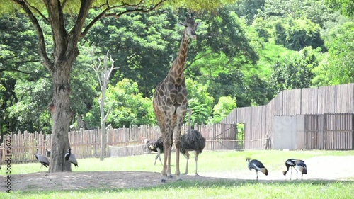 Giraffe and other safari animals are living together