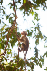 Monkey in jungles of Sri Lanka
