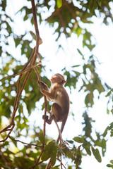 Monkey in jungles of Sri Lanka
