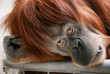 Emotionaler Blick eines schönen Orang-Utans