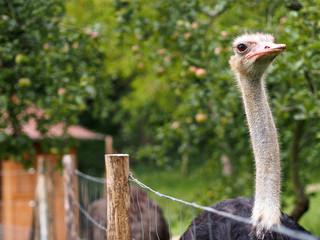 Straussenvogel