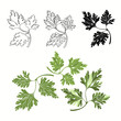 Vector set of parsley on a white background