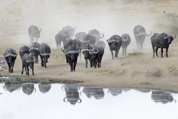 Buffalo herd going to drink.
