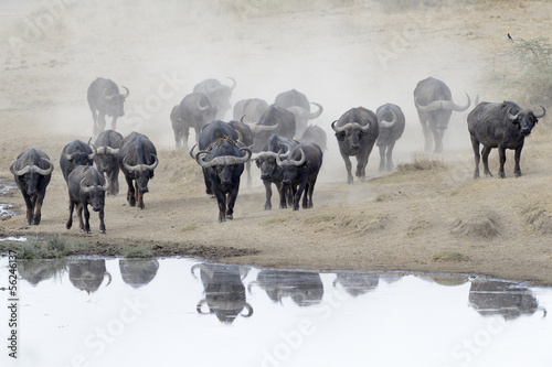 Staande foto Buffel Buffalo herd going to drink.