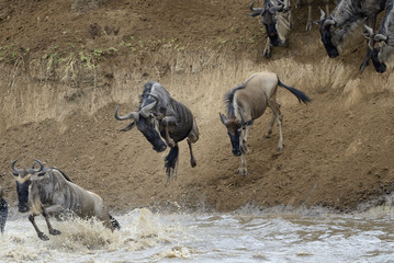 Wildebeest jumping in the Mara river while crossing the river.