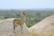 Klipspringer standing on rocks.