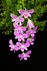 Pink cultivated orchid isolated over black background