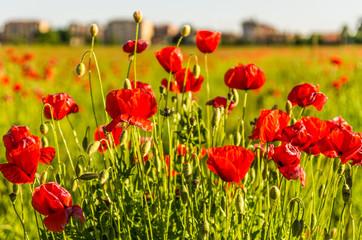 Cerca immagini fiori al tramonto for Fiori a grappolo