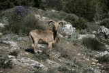 Barbary sheep or Mouflon, Ammotragus lervia